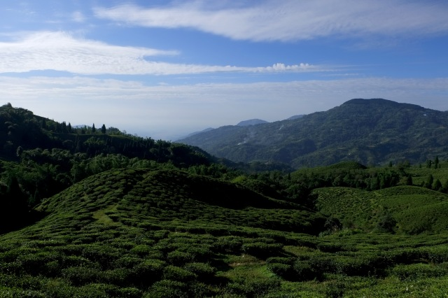 Organic tea-fields shimmering under the sun